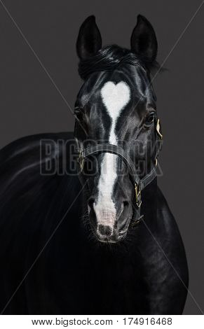 Black horse  in halter with heart mark on gray background. Unigue and rare colored.
