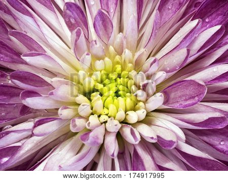 White-pink chrysanthemum flower. Macro. Background flower mottled chrysanthemum with dew drops. Nature.