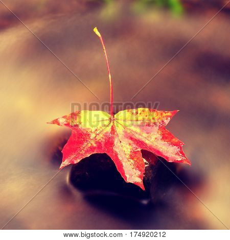 Fallen Maple Leaf. Rotten Yellow Orange Dotted Maple Leaf In Cold Water