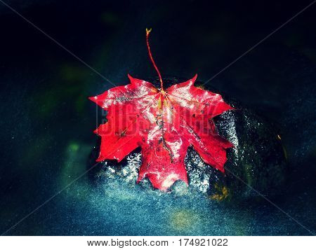 Red Autumnal  Maple Leaf In Water. Dried Leaf Caught On Stone