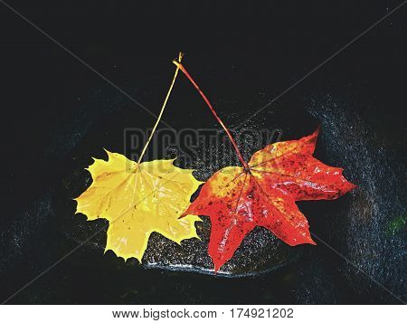 Yellow Red  Maple Leaves Flow In River. Dried Fallen Leaves