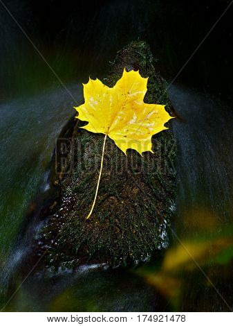 The Yellow Broken Leaf From Maple Tree On Basalt Stone