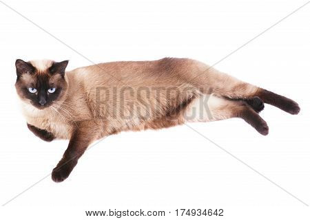 relaxed siamese cat lying on side isolated oh white