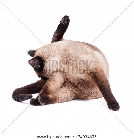 cut siamese cat preening or cleaning itself, isolated on white