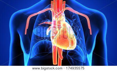 3d illustration human body heart of a human body organ