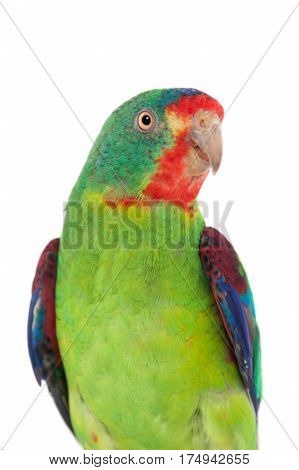 Swift Parrot, Lathamus discolor, isolated on white background