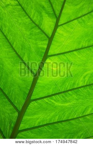 Close-up of the underside of a large green tropical rainforest leaf looking almost like stained glass