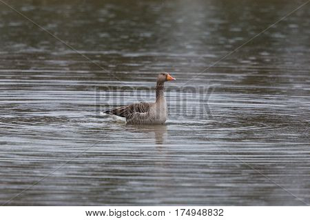 Natural gray goose (Anser anser) swimming on water surface during rain