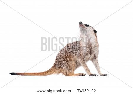 The meerkat or suricate, Suricata suricatta, isolated on white