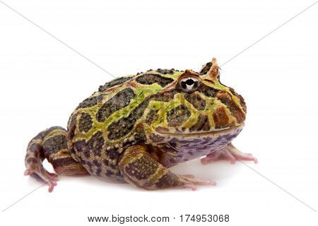 The Argentine horned frog, Ceratophrys ornata, isolated on white background