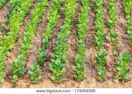 Cultivated tobacco in plantation. Its leaves commercially grown to be processes into tobacco industry