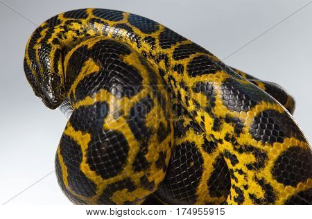Crawling yellow snake in knot on gray background