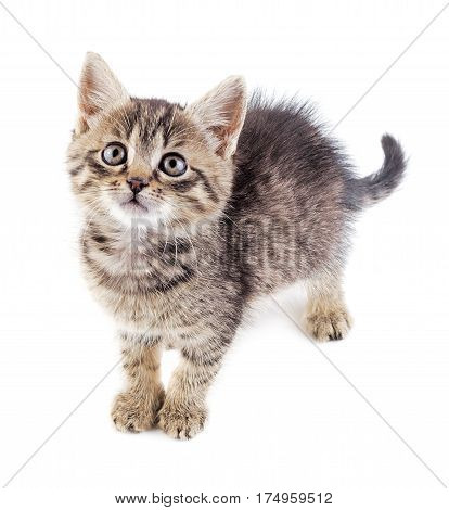 Frightened grey not purebred kitten isolated on white background.