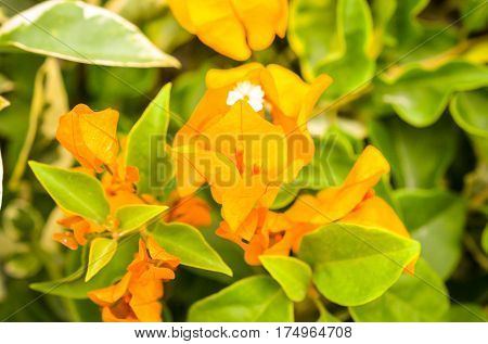 orange bougainville tropical flower blossom detailed macroshot