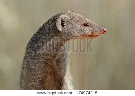 Portrait of a banded mongoose (Mungos mungo), southern Africa