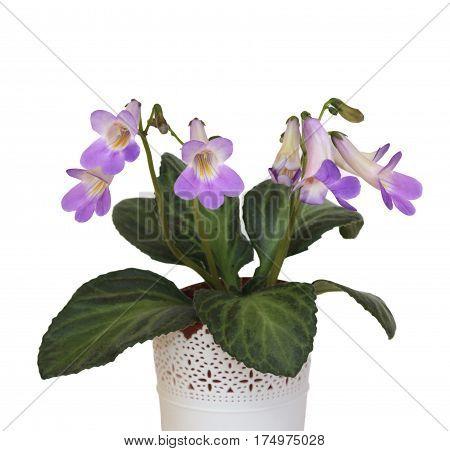 Decorative plant Chirita on a white background