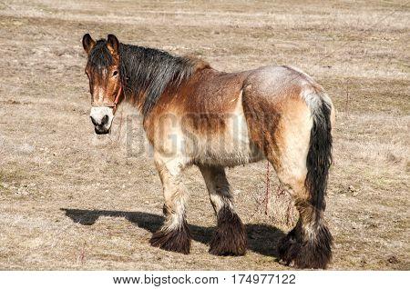 Female heavy horse grazing on winter meadow in sunny day
