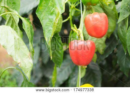 Red bell pepper (sweet pepper) on the pepper tree