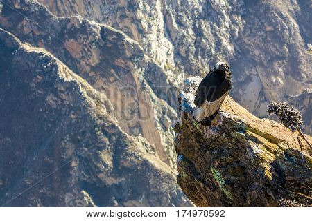 Condor at Colca canyon sittingPeruSouth America. This is a condor the biggest flying bird on earth