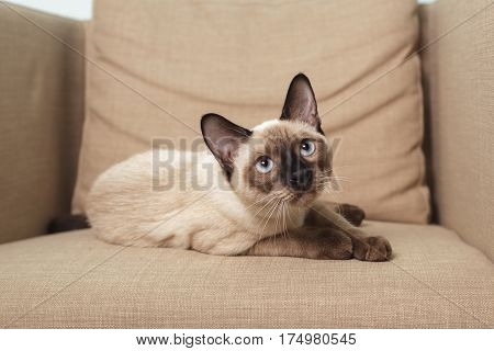 Young Thai cat sitting on the couch like a man and looks disdainfully at what is happening around him.