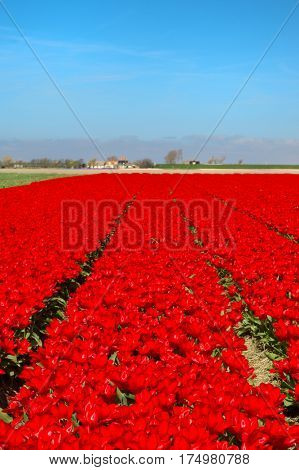 Landscape in Holland with flowerbulbs, red tulips and dike