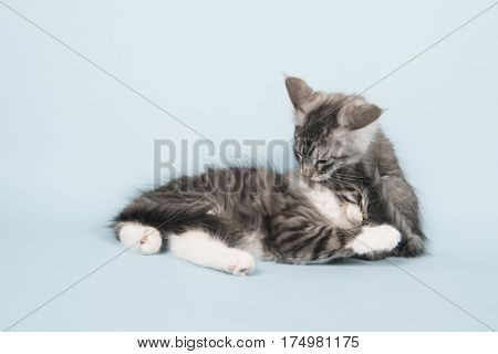 Maine coon kitten laying in studio and washing each other on blue background