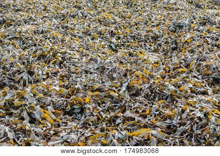Large bed of seaweed on a slipway in the United Kingdom.