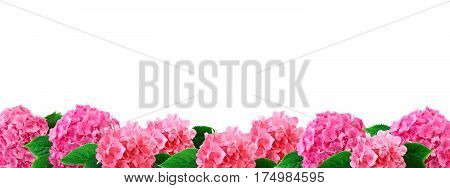 Hydrangea flowers border pink hortensia flower with leaf isolated on white background copy space