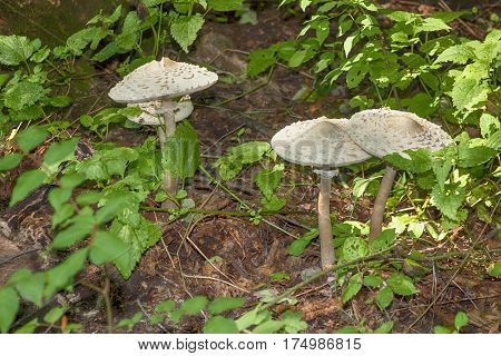 white edible mushrooms Shaggy Parasol  growing in the forest