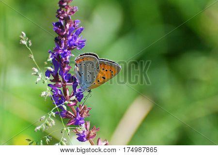 Large copper (Lycaena dispar) beautiful orange butterfly on wild white flowers