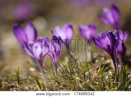 Delicate Fragile Crocuses In Early Spring