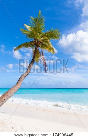 Coconut Palm Grows On White Sandy Beach