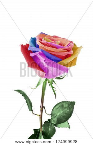 Single rose with colorful petals on white background