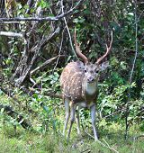 Male Sri Lankan axis deer Axis axis ceylonensis also called Ceylon spotted deer national park Wilpattu Sri Lanka poster