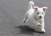 Very cute Bichon Frise dog / puppy running - paws don't touch the ground poster