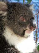 victorian koala bear poster