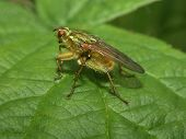 a common dung fly (scathophaga stercoraria) poster