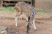 The chital or cheetal also known as spotted deer or axis deer that live in the zoo of thailand poster