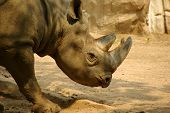 Wild rhinoceros proudly displays his horns during the hot summer months in Africa poster