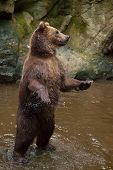 Kamchatka brown bear (Ursus arctos beringianus), also known as the Far Eastern brown bear standing on its hind legs.  poster
