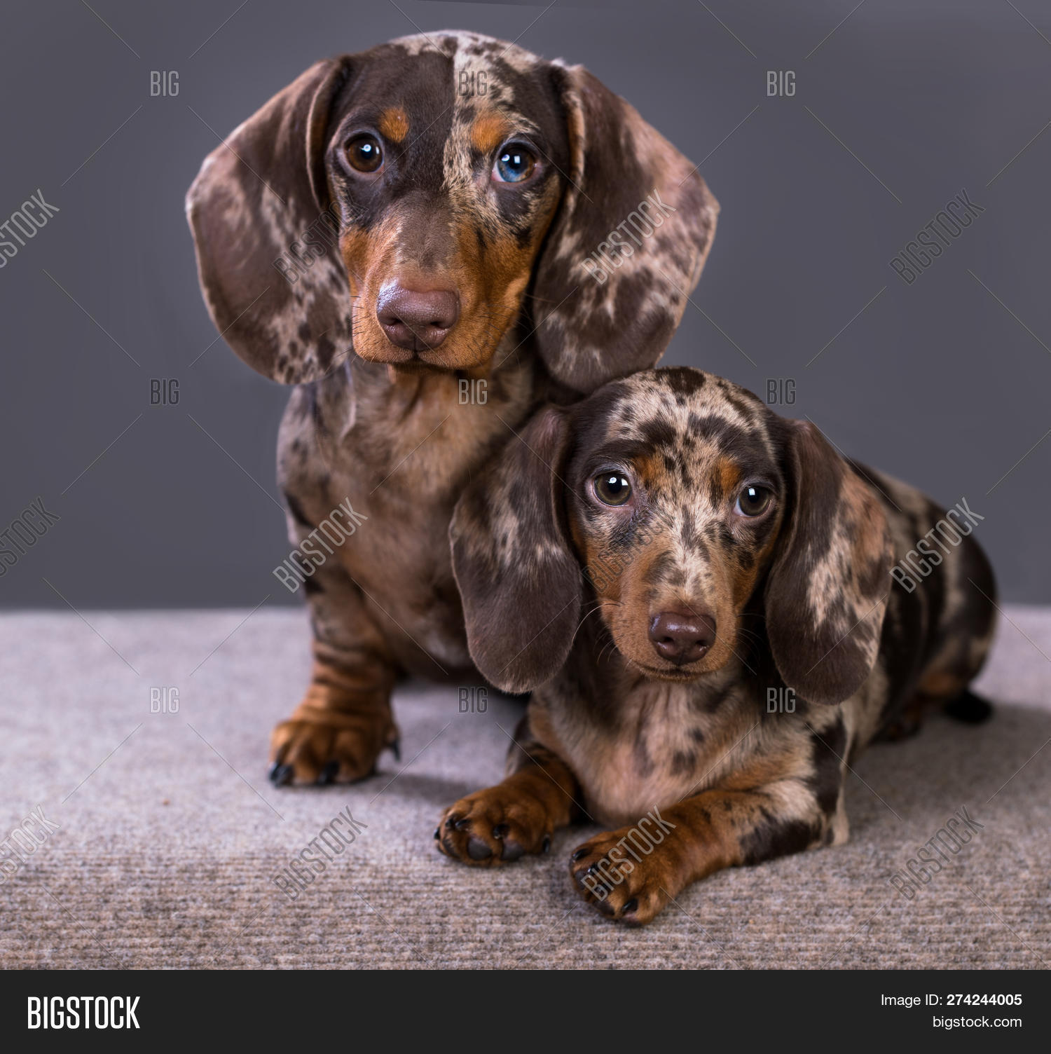 Dachshund Puppies Image Photo Free Trial Bigstock