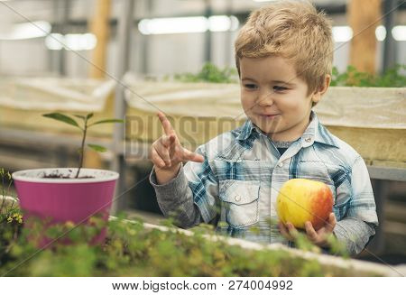 Future. Concept Of Healthy Youth With Good Future. Happy Little Boy Hold Fresh Apple In Greenhouse A