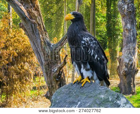 Portrait Of A Stellers Sea Eagle Standing On A Rock, A Big Raptor From Japan.