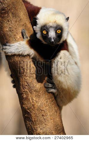 Coquerel der Sifaka (Lemur)
