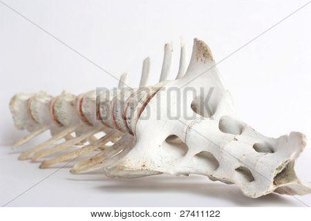 Vertebrate or Backbone