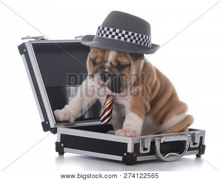 english bulldog puppy dressed up like a businessman on white background