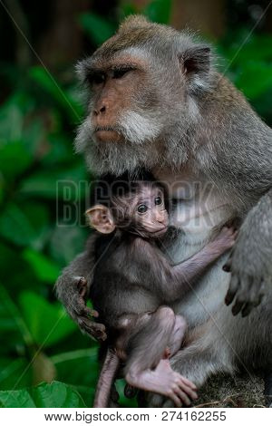 Closed Up Mom Hug With Baby Monkey, Thailand, Family Has A Monkey Mother And A Cute Monkey Baby. Mon