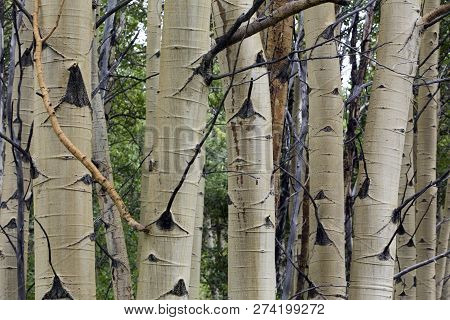 Dense Cluster Of Aspen Tree Trunks With White Bark, Wyoming