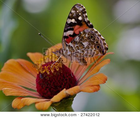 American painted lady, Vanessa carduis, Common butterfly to most of North America poster