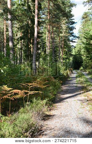 Narrow Dirt Road Into The Deep Green Forest By Early Fall Season